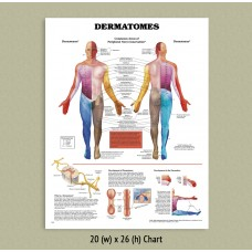 Anatomical Chart - Dermatomes