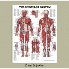 Anatomical Chart - Muscular System