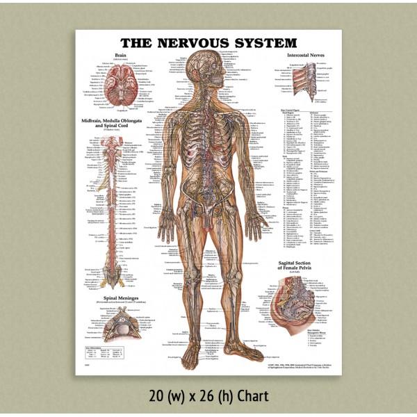 Anatomical Chart - Nervous System