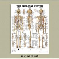 Anatomical Chart - Skeletal System