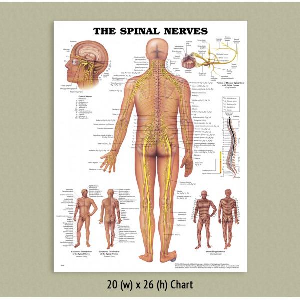 Anatomical Chart - Spinal Nerves