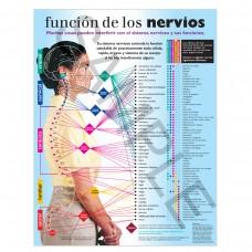 Handout - SPANISH Nerve Function